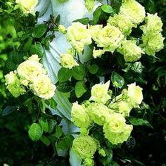 https://abekker.ru/ - Роза плетистая Зеленая