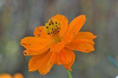 Orange flower by Claudia Crempien - PhotoBlog