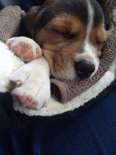 My new puppy Archie ! #beagles
