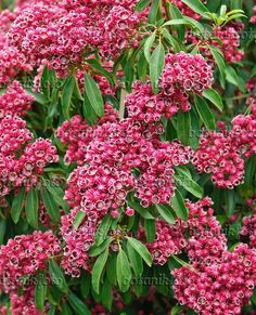 Image Mountain laurel (Kalmia latifolia 'Kaleidoscope') - 502232 - Images and videos of plants and gardens Kalmia Latifolia, Main Street, Mountain, Flowers, Plants, Image, Gardens, Videos, Florals