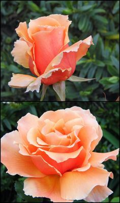 Rose Garden Just Joey Rose purchased for the backyard. My Flower, Pretty Flowers, Cactus Flower, Exotic Flowers, Purple Flowers, White Flowers, Orange Roses, Pink Roses, Foto Rose