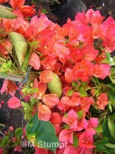 Trepadeira para pergolado Bonito efeito com muitas flores  http://www.fazfacil.com.br/jardim/bougainville/