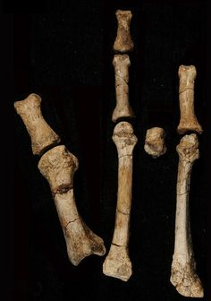 Fossil foot from Ethiopia is a 'new species' of pre-human - and will help scientists home in on the moment our ancestors descended from the trees        Foot built for walking on two feet - but also for grasping branches      Previously unknown ancestor lived three million years ago