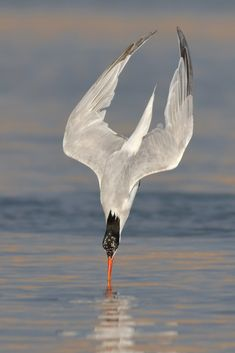 Facebook  .  500px  .  Instagram  Elegant Tern elegantly diving, Bolsa Chica(CA)  Thank you for your visit, catching up.  Canon EOS 7D2 @ 400mm ---- 1/3200s--- f/5.6 --- ISO 400