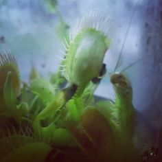 #ouch _ this Lil' cricket is dinner for a fly trap that my man & I own together. We thought ' hey let's give it a daaaammmnnn good meal....Now I feel like an entomologists' worst nightmare!!! LoL  #venusflytrap #caughtinatrap // Who knows maybe couples who FEED TOGETHER SLEEP BETTER- TOGETHER....!?! by lil_ganja_mama