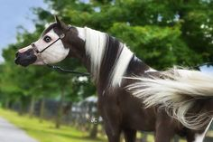 NAME: Gabe AGE: 2 ABOUT: Gabe is a responsible stallion but gets picked on because of his hair NO Mate or Foals