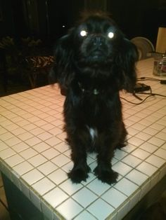 Mocha is a 9 month old female. Mom is a cocker spaniel and dad is a shih tzu/chihuahua. About 10 lbs. Raised with her sister. They don't need to go to the same home but need another dog to play with. Crate trained. Very sweet, friendly, playful...