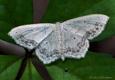 Large Lace-border Moth