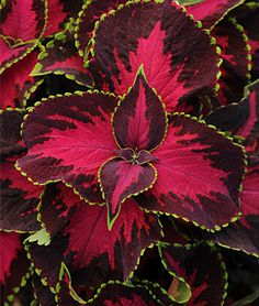 Coleus plants come in a truly amazing variety of vibrant colors and color combinations, and a huge array of leaf edgings and sizes. Easy to grow, and so eye-catching! Often planted with sweet potato plant, creeping jenny, and impatiens, but the possibilities for stunning combinations are almost endless. Pictured here: Coleus, Chocolate Covered Cherry - Burpee.com. Sun or shade