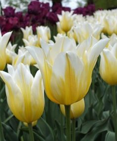 Lily Flowering Tulip Budlight--This resplendent newcomer is lemon-yellow with broad, bright white-flamed petal edges on strong stems.