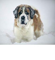 Una de las razas más grandes de perros: San Bernando.