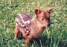 The worlds smallest deer! the Pudu! I would love this little guy as my pet!