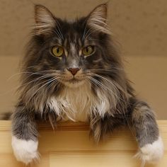 Maine Coon - Photo by Teruhide Tomori
