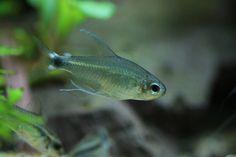 Hyphessobrycon elachys | Flickr - Photo Sharing!