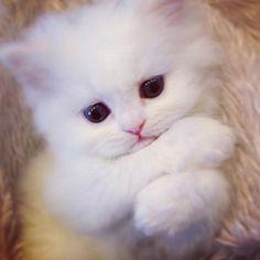 Cute tiny white kitten needs a hug.