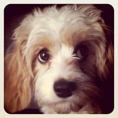 My Cavachon puppy - Belle