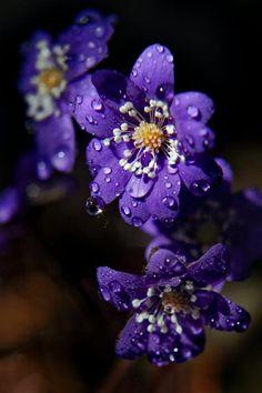Hepatica nobilis  Blåveis - is the next flower to arrive at spring time in Norway.