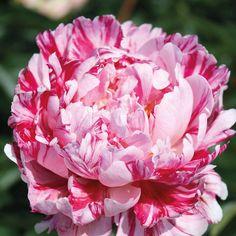 Blumen - Peony - Pfingstrosen Peony 'Candy Stripe' - Exotic Plants - Van Meuwen How Pool Cleaning Ro Peony Flower, Flower Seeds, Flower Pots, Cactus Flower, Rare Plants, Exotic Plants, Pink Flowers, Beautiful Flowers, Exotic Flowers