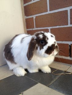 Buffy the Holland Lop bunny:)