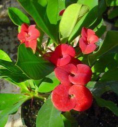 Crown of Thorns Big Red Flowers Euphorbia MILII Succulent Cactus 2 ...