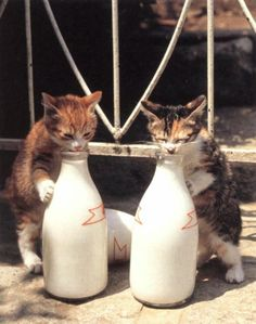 Kittehs lapping up milk
