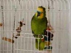 """Papagaio Zeca """"eu mato/quem roubou minha cueca pra..."""