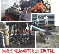 Extreme Horse Slaughter | Horse Slaughter in Australia | Stop the Sale of Horse Meat in W.A ...