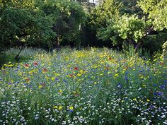 english native wildflower meadow - Google Search