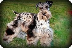 Hagerstown, MD - Schnauzer (Miniature). Meet Wizard a Dog for Adoption, a beautiful, rare Blue Merle Schnauzer, looking for a new place to call home!