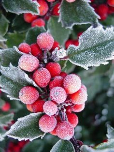❀ Winter-Frozen Flowers holly in frost Yule, Winter Magic, Winter Snow, Noel Christmas, Winter Christmas, Christmas Berries, Minimal Christmas, Green Christmas, Country Christmas