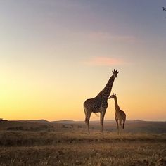 Seeing this on your way home is a great way to end the day! These animals are amazing. Did you know that if a giraffe drank a hot cup of coffee it would be cold by the time it reached its stomach? by sheldonevansphoto