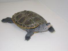 Terrapin - Diamondback Terrapin, Turtle Painting, Tortoises, Turtles, Reptiles, Animals, Tortoise, Turtle, Animaux
