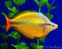 Australian Rainbow Fish, Goldfish For Sale, Amazing Aquariums, Fishing World, Freshwater Aquarium Fish, Underwater Life, Angel Fish, Beautiful Fish, Sea Fish