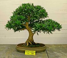 "RP: Podocarpus Macrophyllus - Steineibe, ""Pine of the Buddhists"""