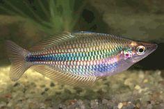 Melanotaenia trifasciata Colorful Fish, Tropical Fish, Tropical Aquarium, Fishing World, Fishing Life, Nature Aquarium, Aquarium Ideas, Freshwater Aquarium Fish, Rainbow Fish