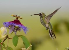 Gallery of White-tailed Goldenthroat (Polytmus guainumbi) | the Internet Bird Collection (IBC) | HBW Alive