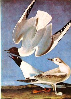1978 Vintage Audubon Bird Print Bonapartian by mysunshinevintage