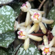 H. curtisii Flowers