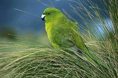 Kakariki verde - Antipodes Parakeet  -Cyanoramphus unicolor