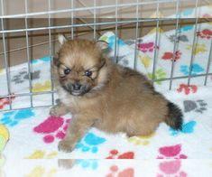 Puppyfinder Com View Ad Listing Yorkie Poo Puppy For Sale Adn 23786 North Carolina Huntersville Yorkie Poo Puppies Puppies For Sale Yorkie Poo