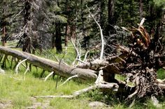 Fallow Tree I found during my hiking on Mount San Jacinto State Park, California. The park, encompassing 14,000-acres of pristine wilderness, offers a wide array of recreation activities. I had a good time with nature...I hiking for several hours. Great time!!!