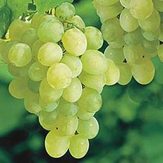 """Growing Seedless Grape Vines In latest aritcle was shown """"How to grow grape vines"""". As a lot of people prefere seedless fruit. In this article will be given some specific information ab… Gooseberry Plant, Gooseberry Bush, Grapevine Growing, Arizona Gardening, Arizona Landscaping, Desert Gardening, Indoor Bonsai, Crassula Ovata, Jade Plants"""