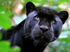 black-jaguar.jpg picture by rubenrocksu - Photobucket