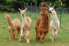 Visit This Wisconsin Alpaca Farm For A Fun And Fuzzy Adventure Wisconsin Vacation, Wisconsin Attractions, Amazing Adventures, Farm Animals, Fun Activities, Boy Bands, Pets, Alpacas, Vacation Ideas