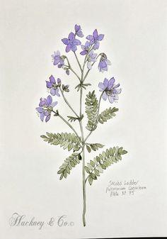 Day 75 #jacobsladder #scottish #wildherb #botanicalillustration #botanicalart #healingherbs #herbs #botanica #wildherbillustration #herbology #100daysofillustration #hackneyandco100days