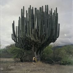 giant cactus in oaxaca mexico – pachycereus weberi