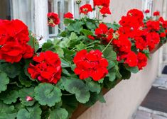 Chirpings from a Strathalan Sparrow: It is nice how backyard flowers like geraniums . Perennial Geranium, Cranesbill Geranium, Pink Geranium, Geraniums Garden, Red Geraniums, Garden Crafts, Garden Projects, Palmers Garden Centre, Window Box Plants