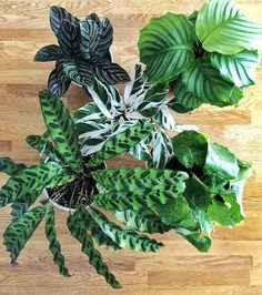 Watch out, Cat Lady. The Plant Dad is the new kid on the block. And his green thumb is un-be-LEAF-able. Isn't plant humor just the best? And I really couldn't help myself right ther… Calathea Plant, Plant Cuttings, House Plants Decor, Plant Decor, Outdoor Plants, Garden Plants, Plants Are Friends, Plant Illustration, Easy Garden