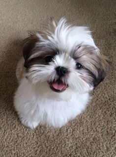 Cute Baby Dogs, Cute Dogs And Puppies, Cute Baby Animals, I Love Dogs, Doggies, Adorable Dogs, Perro Shih Tzu, Shih Tzu Puppy, Shih Tzus