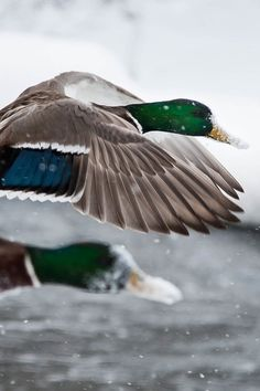 mallards in flight unbelievable.